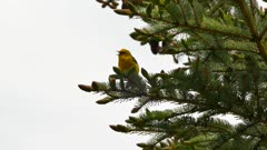Warbler bird standing on pine tree with fresh early growing pine cones