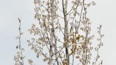 White sky and silver looking tree hosting magnolia warbler bird in colors