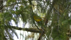 Yellow colored small warbler type bird during spring migration in the sun