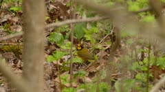 Beautiful hooded warbler in North American deciduous forest in spring
