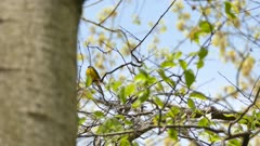 Hooded warbler bird vocalising atop tree on clear blue sky and green leaves