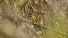 Female common yellowthroat warbler bird staying put for a long time