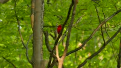 Scarlet tanager looking curiously around and at the camera in the woods