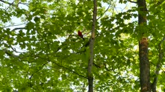 Medium shot of scarlet tanager perched and signing in deciduous forest