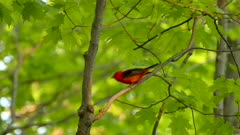 Close and wide view of bright red scarlet tanager bird in Canadian forest