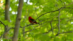 Wild carolinian forest in early summer is home to a beautiful male red tanager