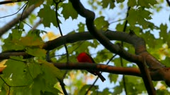 Soft dusk sunlight nicely coloring red scarlet tanager while vocalizing