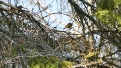 Beautiful magnolia warbler features incredible feather designs in the wild