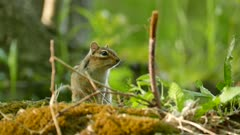Beautiful nature shot of chipmunk vocalizing on wild forest blurry background