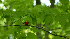 Beautiful bright red male scarlet tanager bird on maple tree in carolinian forest