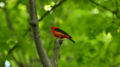 Striking red colored feathers bird scarlet tanager vocalising loudly in the wild