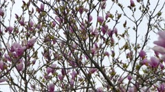 Tiny vireo type bird calls home a beautiful tree with bright purple flowers