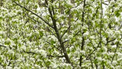 Double shot of tree in flowers during spring and bird in green and white shades