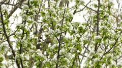 Black-throated green warbler hopping up a branch full of blossoming flowers
