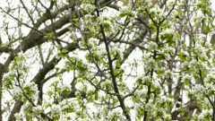 Pretty black throated green warbler moving fast in a blossoming tree in spring
