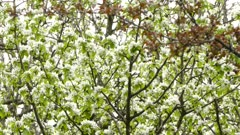 Two shots of black-throated green warbler bird looking for food thru flowers