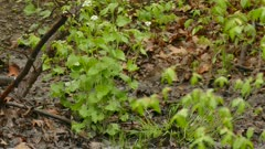 Type of woodland thrush bird foraging soil on the ground of mixed forest