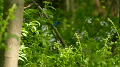 Indigo bunting flying away from a low level branch with flowers in background