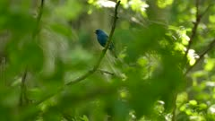 Beautiful entirely blue bird indigo bunting taking off from a swinging branch