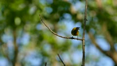 Extended shot of blue-winged warbler standing on its branch and not moving