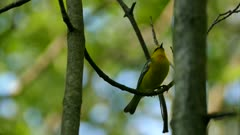 Closeup of blue-winged warbler making distinctive sound at end of the day