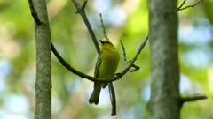 Beautiful macro close up shot of blue winged warbler vocalizing in the woods