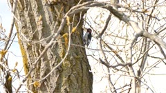 Red-headed woodpecker up a tree in spring with early hatching leaves