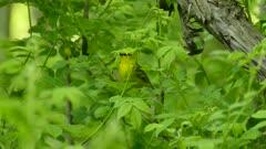 Stunning wild bird in Canadian spring migration with luxuriant vegetation