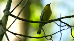 Blowup shot of blue-winged warbler looking around and making a noise