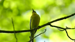 Striking blue-winged warbler bird viewed in macro closeup shot in the forest