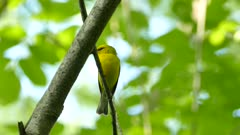 Striking bird in yellow shades and black masks sings and changes position