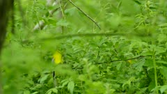 Blue winged warbler actively feeding and moving fast in fresh green bush