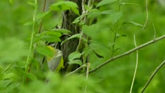 Beautiful blue winged warbler hopping up on wild bush in lush forest