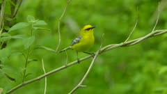 Spectacular close up shot of blue-winged warbler bird stepping on tiny branch