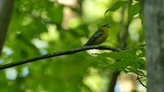 Blue winged warbler vocalizing while standing on branch in Canadian forest