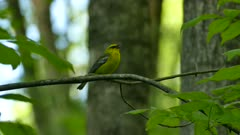Small yellow bird during spring migration makes distinctive call sound