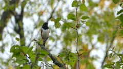 Eastern towhee singing its heart out on blurry leafy background in the wild