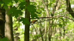 Carolina wren with distinctive white mask thrives in Canadian spring forest