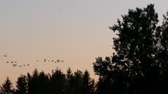 Silhouette of Canada geese birds flying and disappearing behind trees