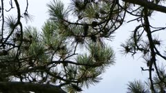 Sharp high contrast shot of long needle pine branch with kinglet flying away