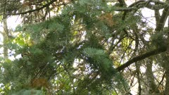 Zoom in and out of a quick moving kinglet bird in North America on pine tree