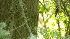 Tight and medium shot of golden crowned kinglet actively searching in tree