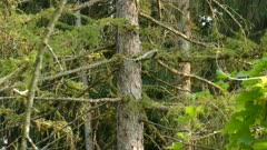 Nuthatch and warbler share a large mature pine tree in late afternoon forest