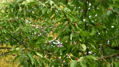 Striking colored fruits in lush magnolia tree with large woodpecker bird in it