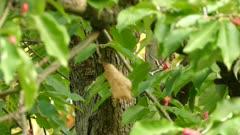Triple shot of pileated woodpecker in a pretty magnolia tree in North America
