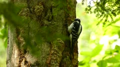 Downy woodpecker pecking on tree covered in mushroom and thick bark