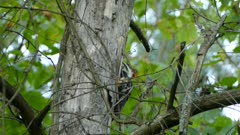 Woodpecker feeding from tree surrounded by intertwined tiny dried up twigs