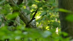 Cute hesitant little woodpecker bird in a lush North America deciduous forest