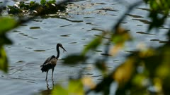 Small fish escapes from heron bird's beak before it catches it back and eats it