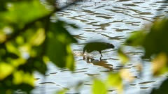 Great blue heron seen thru blurry leaves catches tiny fish and eats it whole